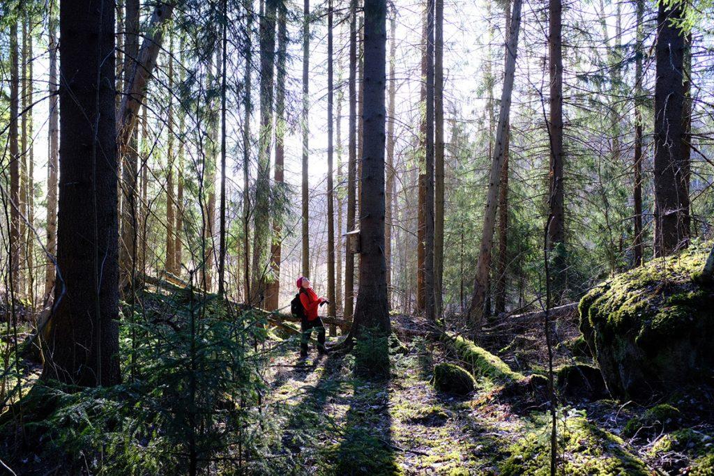 Kaisa Mustajärvi tarkastaa liito-oravien pönttöjä