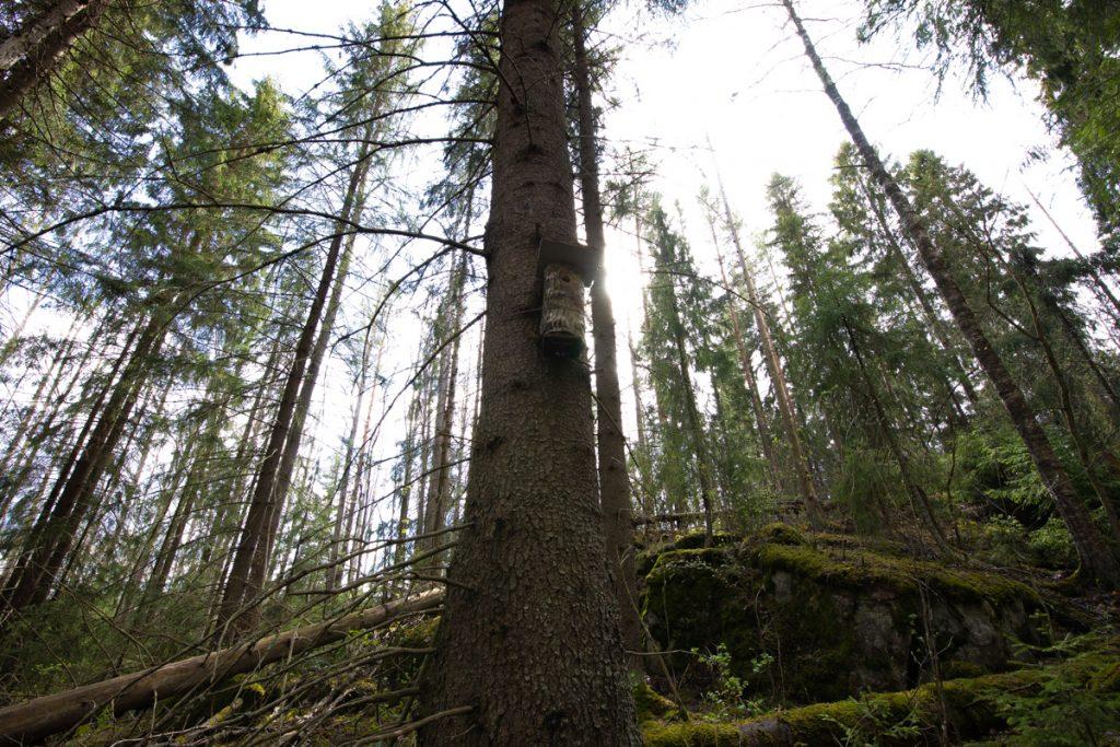 Metsä, jonne rakennettiin liito-oravalle pönttöjä.