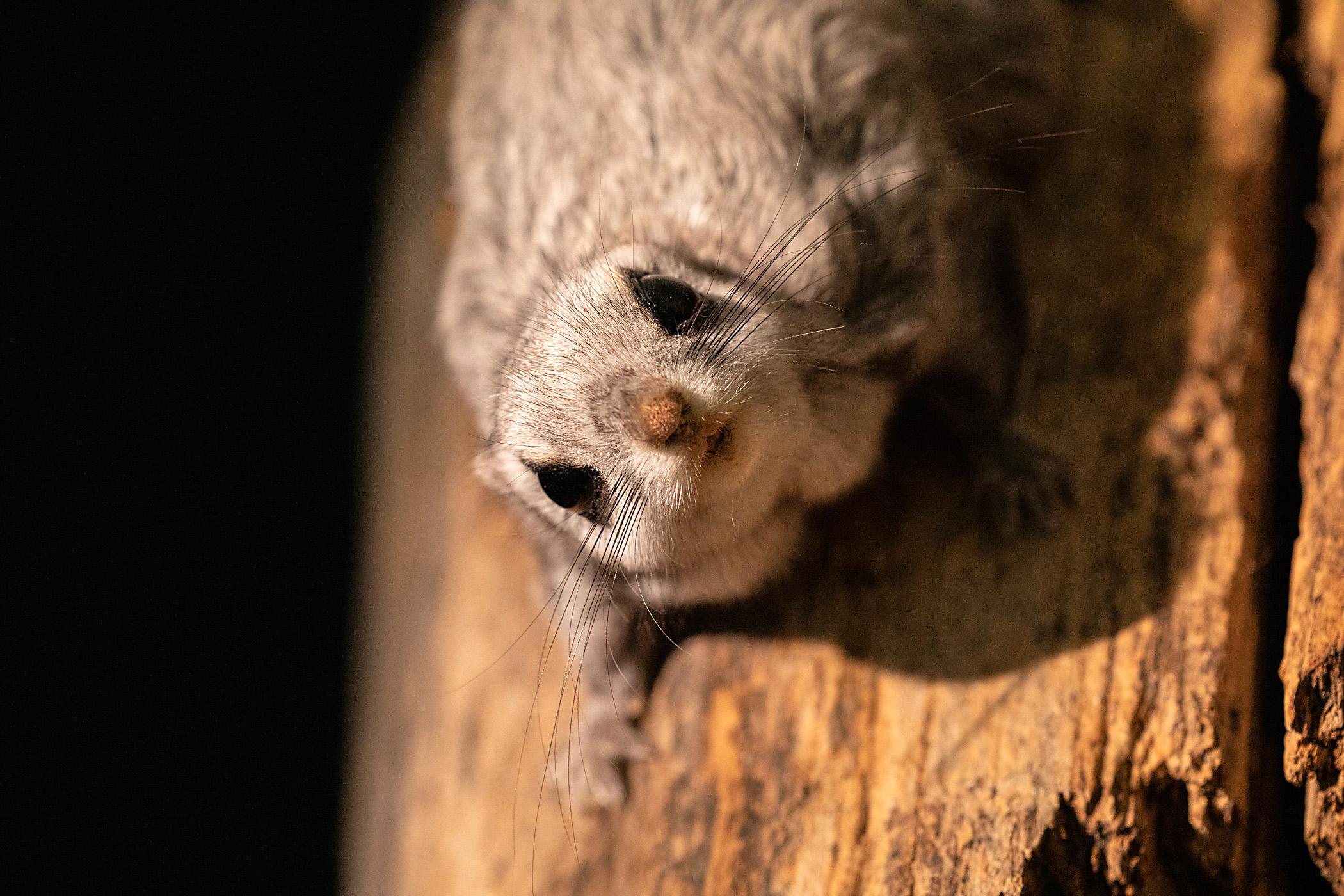 Liito-orava puunrungolla